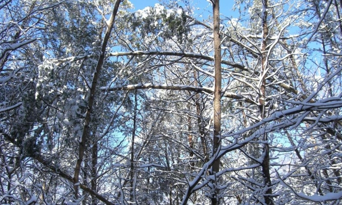 [Photo other bent trees heavy with snow]